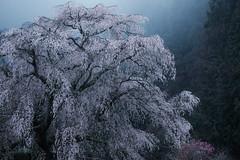Soul of tree (HarQ Photography) Tags: japan cherryblossom sakura fujifilm xt1 xf50140mmf28rlmoiswr spring 又兵衛桜 本郷の瀧桜 霧 fog