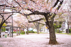DS7_1819.jpg (d3_plus) Tags: street sky plant flower nature bicycle japan walking 50mm cycling spring nikon scenery bokeh outdoor fine daily bloom  cherryblossom  sakura streetphoto nikkor     dailyphoto   kawasaki  50mmf14 thesedays pottering     fineday    50mmf14d  nikkor50mmf14    afnikkor50mmf14  50mmf14s  d700  kanagawapref  nikond700 aiafnikkor50mmf14  nikonfxshowcase nikonaiafnikkor50mmf14