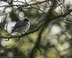 Blackcap male (RCB4J) Tags: art nature photography scotland bokeh wildlife ayrshire blackcap sylviaatricapilla sigma150500mmf563dgoshsm ronniebarron rcb4j sonyilca77m2