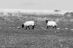 Spring Lambs (calumlove321) Tags: nature animals landscape outdoors spring nikon sigma lambs 105 livestock plain dartmoor moorland dx d7000