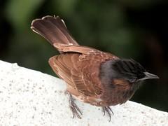 Red-Vented Bulbul (Zaima Tasneem) Tags: bird nature birds bangladesh bulbul pycnonotuscafer redvented