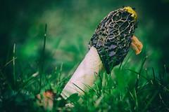 Common Stinkhorn (pucek) Tags: phallus impudicus phallusimpudicus fungus