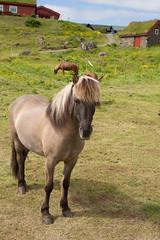 Horses (kaszeta) Tags: faroeislands trshavn streymoy fo
