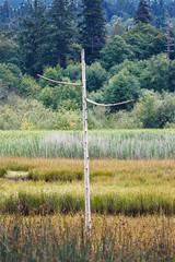 Lonesome Pine (WalrusTexas) Tags: landscape layers pine tree grass marsh solitary