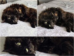 2016: A Drowsy Puff Odyssey (~ Liberty Images) Tags: cute cat lucy feline fuzzy puff fluffy tortie goldeneye