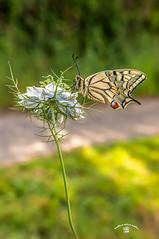 Machaon (Emilio Rico Uhia) Tags: procesadas2016 kddraw1 machaon mariposas macros naturaleza emilioricouhia colores flores