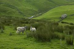 3rd July 2016 (EmmaDurnford) Tags: green countryside sheep yorkshire walls lush dales drystone