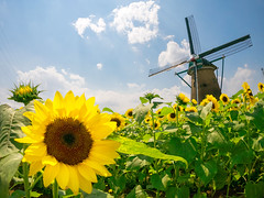 Summer has come!(Explored) (sonica@2006) Tags: summer windmill japan was open glory july front full panasonic chiba sunflower sakura brilliant fully blooming exactly the m43 ultrawideangle gm1 bcl980