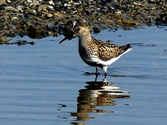 Dunlin - Calidris alpina (ericy202) Tags: dunlin calidrisalpina snettishamrspb norfolk wadingbirds