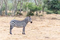 Lake Mburo National Park (MadGrin) Tags: africa zebra orientale uganda repubblica travel viaggio westernregion uga
