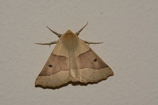 Scalloped oak moth