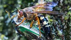 Cicada Killer with Prey (Photons of Days Past) Tags: cicada killer prey wasp sting bite canoneos6d canonef100mmf28lisusmmacro hershey pennsylvania