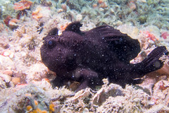 Frogfish #1 (agasfer) Tags: 2016 florida riviera beach blueheronbridge underwater marine life fish scuba diving canon s95 intova iss2000