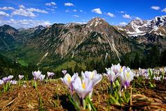 Am roten Berg (liebesknabe) Tags: rotspitze allgu alpen alps berg mountain triangle hiking a5100 ilce5100 selp1650 sonyalpha crocus