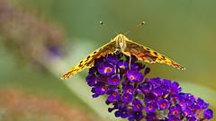 kleiner Perlmutterfalter (2) (blacky_hs) Tags: kleiner perlmutterfalter schmetterling butterfly edelfalter blume flieder flower