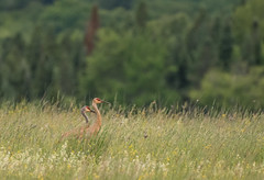 Birds-135.jpg (Sandhill Cranes) (luc_pic) Tags: nature field birds landscape wildlife cranes sandhill distant redtree