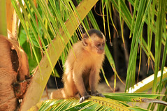 Capuchin monkey found in Lencois Maranhenses National Park, Brazil (RonaldoMelo) Tags: blue brazil detail green nature animal brasil landscape ma mammal monkey cub sand wildlife dunes north lakes young northeast lenis maranhenses norte capuchinmonkey nordeste maranhao macacoprego lenismaranhenses desertwinds lencoismaranhensesnationalpark sheetsmaranhao