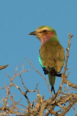 Lilac-Breasted Roller (Charles Hopkins) Tags: bird roller lilacbreastedroller