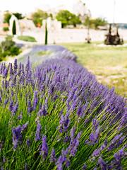 Some Lavender (K.G.23) Tags: omdem5markii vscofilm m43 panasonic25mmf14 vscofilm04 omd olympus mft lesbauxdeprovence provencealpesctedazur france fr