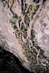 Hiedra (TrustyOldGear) Tags: cuenca ciudadencantada naturaleza trepadora hiedra nudos entrelazada escalando