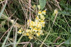 Wild Antirrinhum (doublejeopardy) Tags: mist flower thelizard gale cornwall places sea lizard england unitedkingdom gb