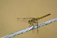 Dragonfly on a wire (hcorper) Tags: macromondays opposites manmade wire dragonfly