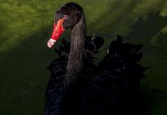 Black Swan (Klaus Ficker --Landscape and Nature Photographer--) Tags: blackswan bird black swan kentuckyphotography klausficker canon eos5dmarkii