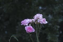 _IMG9415 (edmundrt) Tags: pentax ks2 pentaxks2 smcpentax pentaxiansstandup flower flowers evening bokeh
