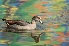 Rainbow Egyptian Goose  |  Regenbogen Nilgans (abritinquint Natural Photography) Tags: bird vogel natural wildlife nature wild nikon d750 telephoto 300mm pf f4 300mmf4 300f4 nikkor teleconverter tc17eii pfedvr germany rainbow luxembourg mosel regenbogen egyptian egyptiangoose nilgans