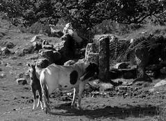 Dartmoor ponies at the old tin works (Rebekah *) Tags: elements dartmoor devon ponies foal countryside outside nature animal dartmoorpony blackandwhite tinworks