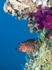 Coral Grouper agape (altsaint) Tags: 45mm coralgrouper egypt gf1 hurghada panasonic redsea fish underwater