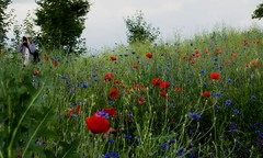 On the trail of poppies (Hejma (+/- 4500 faves and 1,5milion views)) Tags: uplandmiechowska polish landscape clouds person poppies cornflowers flowers tree red blue green