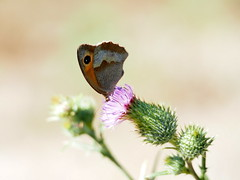 butterfly (quarzonero ...Aldo A...) Tags: butterfly farfalla cardo nature flower coth coth5