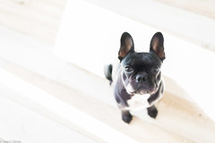 Chige looking handsome (josecdimas) Tags: dog frenchbulldog sassy