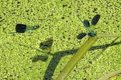 giocando (conteluigi66) Tags: damigelle libellule acqua acquatico volo volare gioco giocare sospeso natura erba luigiconte nero nere ala ali fiume pozza alghe alga ombra