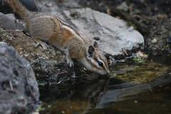 Early Morning Drink -- Colorado Chipmunk (Tamias quadrivittatus); Sandoval County, NM, Thompson Ridge [Lou Feltz] (deserttoad) Tags: nature newmexico animal rodent mammal fauna chipmunk squirrel behavior reflection mountain