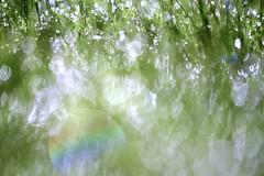 I've missed this! (ktLaurel) Tags: rainbow water summer rain sprinkler drops bokeh grass outdoors