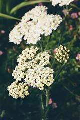 Mum's Garden 2 (katarzynaadamczyk) Tags: flower garden spring vintage canon canon550d sigma sigma1750 colours