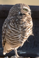 Delightful Burrowing Owl (MelRoseJ) Tags: brentwood california unitedstates birds nature northerncalifornia sonyalpha sal70400g sony sonyilca77m2 a77ii alpha autofocus borrowingowl owl