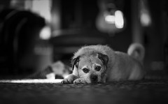 I've been left all alone... (Ben Lockett) Tags: curlytail puppy eyes teeth 85lii 85l 5dclassic 5d canon alone home mono bw bokeh pugcross pug pet animal unloved poor sorrowful pitiful sad mongrel cross terrier lakeland border dog birty