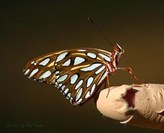 Gary's Finger (Paul Hueber) Tags: garysfinger gulffritillary agraulisvanillae insect butterfly animal handheld bandaid lakelotuspark altamontesprings seminolecounty florida unitedstates canon 75300 autumn october 2007 fall usa finger orlando