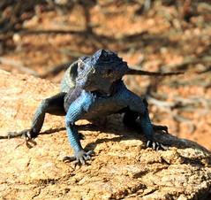 Rock Agama in Goegap Reserve (Pete Read) Tags: rock agama goegap reserve