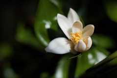 In Bloom (lewist584) Tags: sonynex5r cosinon50mmf17 extensiontubes manualfocus manuallens m42mount macro lewist584 luxembourg lieler flower grapefruit bloom citrus tree leaves