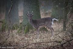 Dovhjort - Ottenbylund (Hans Olofsson) Tags: nature wildlife natur öland vilt ottenby damadama däggdjur dovhjort