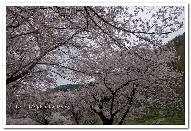 화개십리벚꽃길12