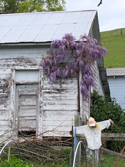 On Guard (jinxmcc) Tags: northerncalifornia scarecrow sonomacounty wisteria russianriver unseasonable turkeyvulture