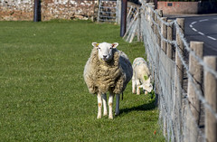What are ewe looking at (nicklucas2) Tags: road grass fence sheep bricks barbedwire lamb ewe