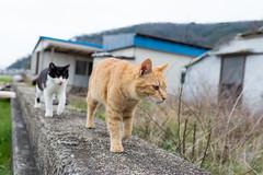 佐柳島 ネコ (GenJapan1986) Tags: 2015 ネコ 佐柳島 動物 多度津町 旅行 離島 香川県 日本 cat animal island nikond610 japan kagawa travel sanagiisland