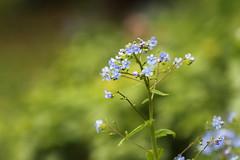Blume im Nerotal (tmertens0) Tags: wiesbaden bokeh 9 jupiter
