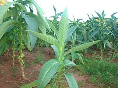 Tabaco en Paraguay 01